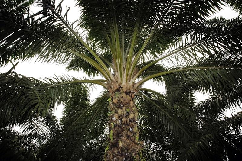 """(Bloomberg) -- Cameroon top state-owned agribusiness said the Anglophone crisis in the country has had a """"disastrous"""" effect on its operations, cutting output of palm-oil and rubber and leaving most of its banana plantations destroyed.The majority of about 22,000 workers at the Cameroon Development Corp., the country's biggest employer after the state, are no longer going to the company's plantations and haven't been paid for months, Director-General Franklin Ngoni Njie told reporters on Sunday. Sixteen workers have been killed by separatist fighters since the crisis erupted almost three years ago, and 98 others have been assaulted or maimed, he said.The CDC grows and processes rubber, palm-oil and bananas on about 42,000 hectares (104,000 acres). Most of its plantations are in the Southwest and Northwest regions, where Cameroon's minority English-speaking population lives. Economic activities in the two regions have been paralyzed by rebels who want to break away from the larger French-speaking area in the central African nation.The unrest has left only four out of 11 rubber estates functional, halted operations at two palm-oil mills and slashed output to 2,100 metric tons, from an expected 17,400 tons, the CDC said. Agriculture Minister Gabriel Mbairobe said on July 5 that President Paul Biya would take """"urgent measures"""" to ensure a resumption of activities at the company.To contact the reporter on this story: Pius Lukong in Yaounde at plukong@bloomberg.netTo contact the editors responsible for this story: Paul Richardson at pmrichardson@bloomberg.net, Pauline Bax, Hilton ShoneFor more articles like this, please visit us at bloomberg.com©2019 Bloomberg L.P."""
