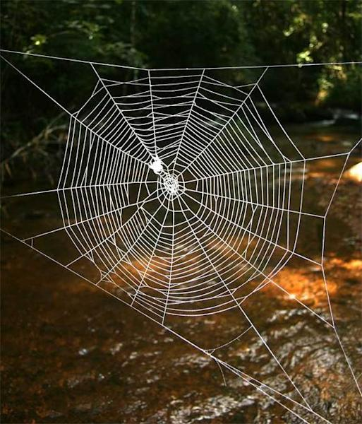 The web of the Darwin's bark spider (Caerostris darwini), can span some square feet (2.8 square meters) and is attached to each riverbank by anchor threads as long as 82 feet (25 meters).