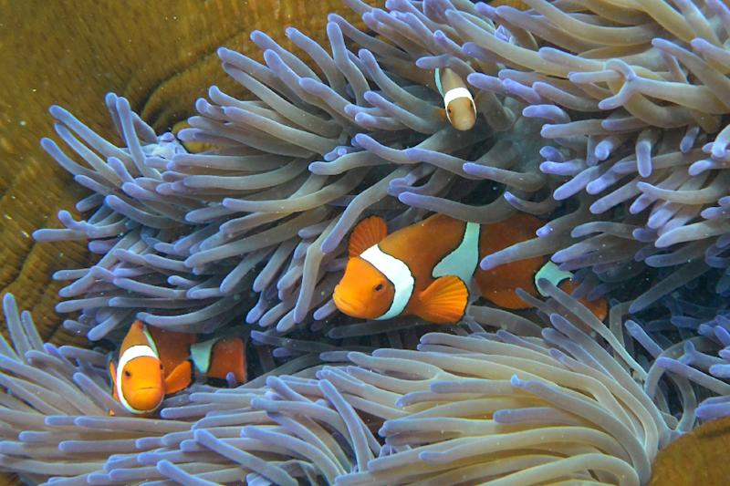 Australia's Great Barrier Reef is under pressure from climate change, farming run-off, development and the crown-of-thorns starfish, with the problems compounded this year by a powerful cyclone pummelling the area (AFP Photo/William WEST)