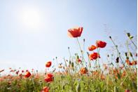 """<p>Bees are big fans of the poppy. Instantly recognisable, they keep on bouncing back as the seeds are initiated by disturbed soil. Simply sprinkle over a patch of grass and watch as the annual wildflower returns every year. </p><p><a class=""""link rapid-noclick-resp"""" href=""""https://go.redirectingat.com?id=127X1599956&url=https%3A%2F%2Fwww.crocus.co.uk%2Fplants%2F_%2Fpapaver-rhoeas%2Fclassid.1000000958%2F&sref=https%3A%2F%2Fwww.countryliving.com%2Fuk%2Fhomes-interiors%2Fgardens%2Fg35975865%2Fbee-friendly-wildflowers%2F"""" rel=""""nofollow noopener"""" target=""""_blank"""" data-ylk=""""slk:BUY POPPY SEEDS"""">BUY POPPY SEEDS</a></p>"""