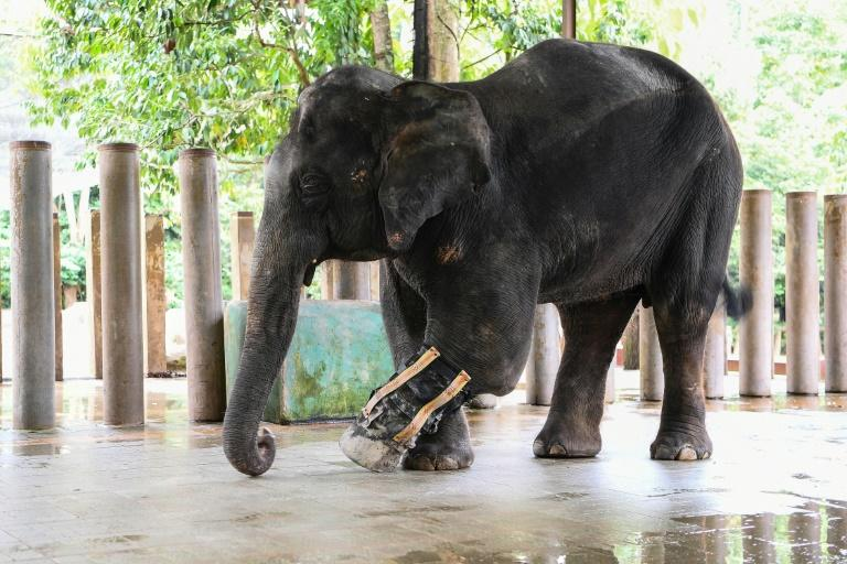 Selendang lost part of its leg after it was caught in a snare trap and has been fitted with a prosthetic limb