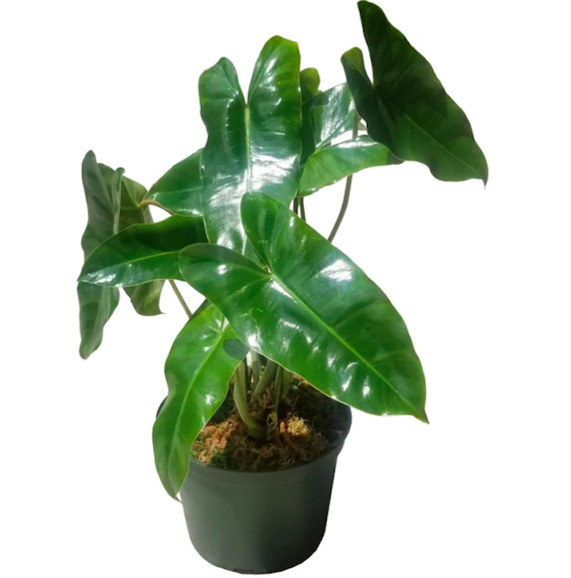 Burle Max Philodendron