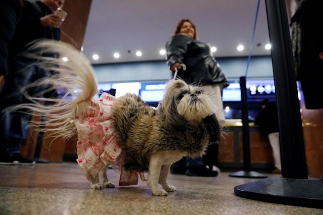 <p>Her Majesty Briee Bride Elizabeth, an imperial shih tzu breed, stands in the lobby after arriving at the Hotel Pennsylvania ahead of the 142nd Westminster Kennel Club Dog Show in midtown Manhattan, New York City, Feb. 9, 2018. (Photo: Shannon Stapleton/Reuters) </p>