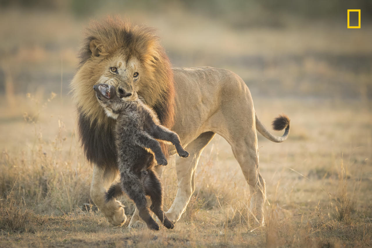 """<p>""""A male African lion teaches a lesson to a hyeena pack for trying to steal its kill."""" (<a rel=""""nofollow"""" href=""""http://yourshot.nationalgeographic.com/profile/266943/"""">Aaron Baggenstos</a> / National Geographic Nature Photographer of the Year contest) </p>"""