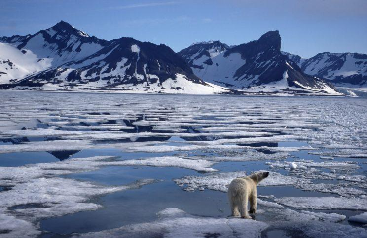 Polar bear walking on pack ice floatin in the Arctic ocean on the North Pole at Svalbard / Spitsbergen, Norway. (Photo: Arterra/UIG via Getty Images)