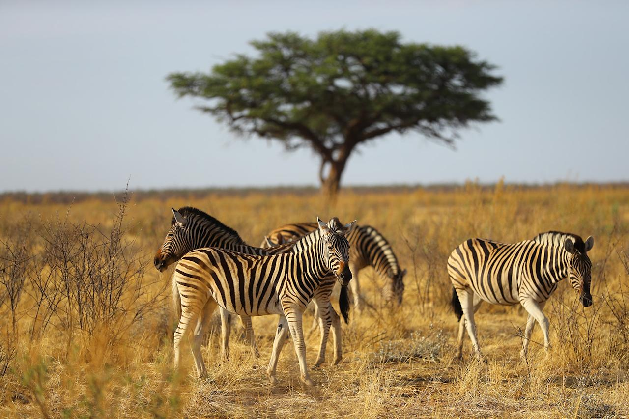<p>A herd of zebras graze in the plains near the Okaukuejo camp of Etosha National Park. (Photo: Gordon Donovan/Yahoo News) </p>