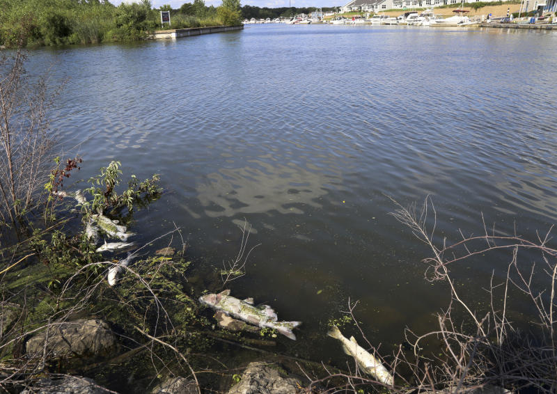 In this Thursday, Aug. 15, 2019, photo several dead fish float along the bank of Burns Ditch near the Portage Marina in Portage, Ind. Some beaches along northwestern Indiana's Lake Michigan shoreline are closed after authorities say a chemical spill in a tributary caused a fish kill. (John Luke/The Times via AP)