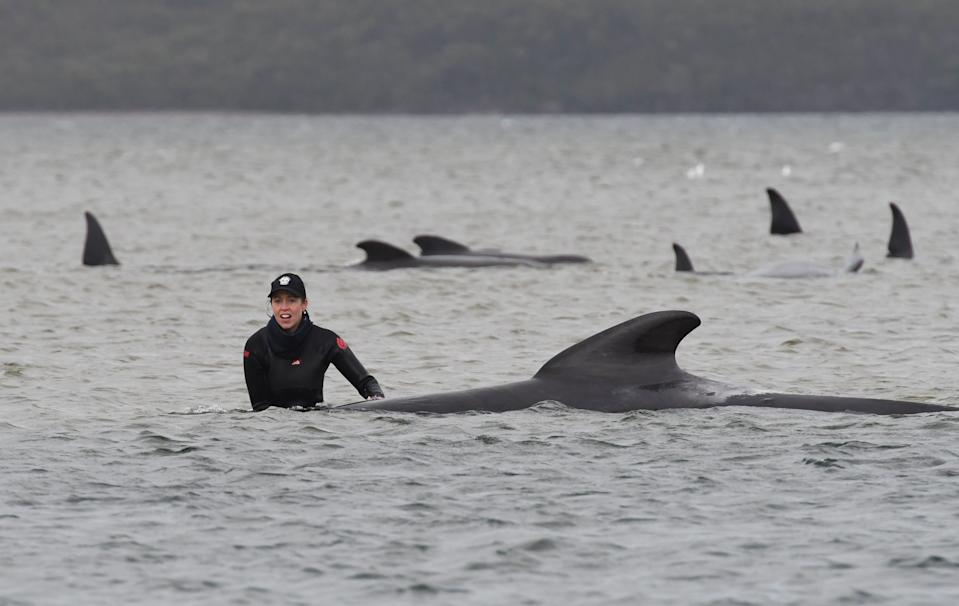 Rescuers work to save a pod of whales stranded on a sandbar in Macquarie Harbour on the rugged west coast of Tasmania on September 22, 2020. Scientists said two large pods of long-finned pilot whales became stuck on sandbars in Macquarie Harbour, on Tasmania's sparsely populated west coast.(Photo by BRODIE WEEDING/POOL/AFP via Getty Images)