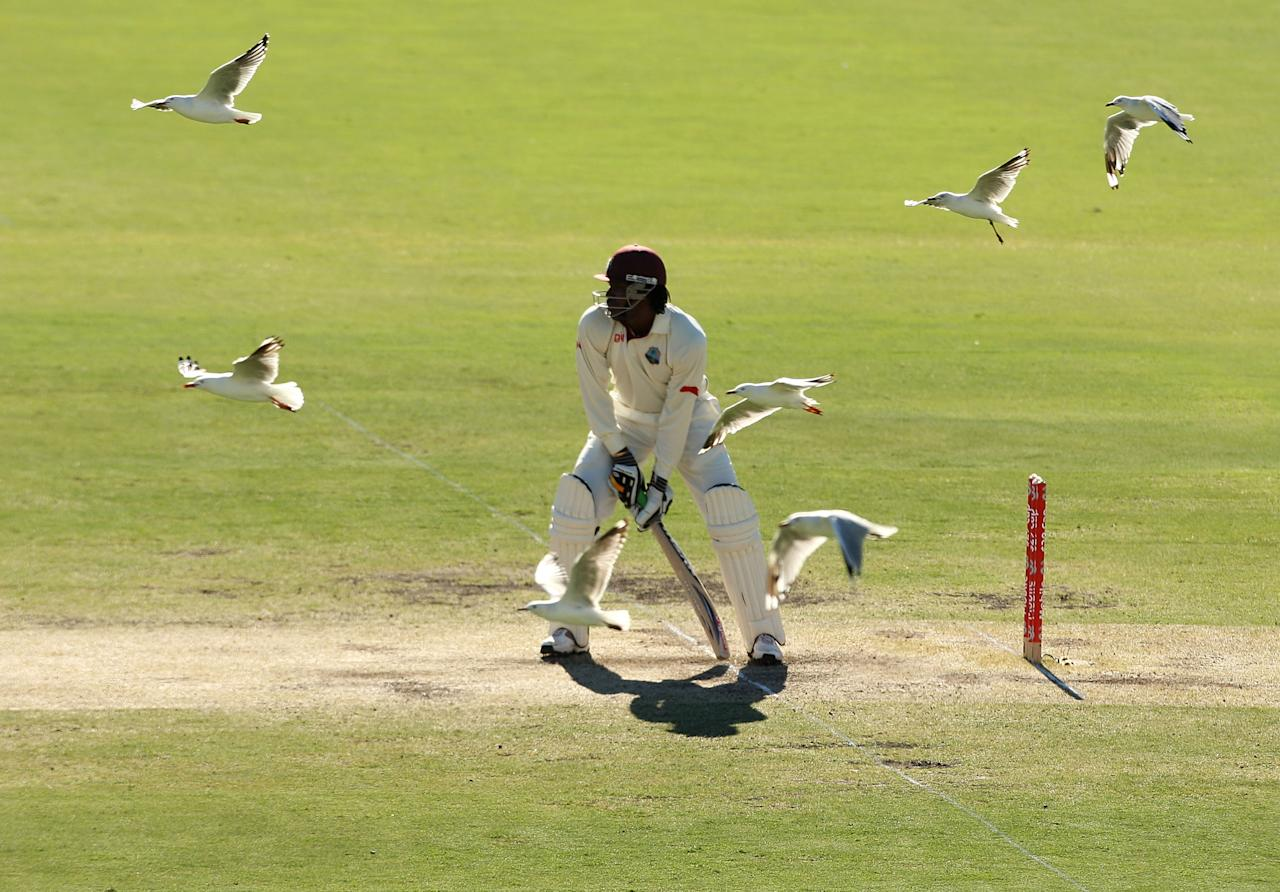 ADELAIDE, AUSTRALIA - DECEMBER 06:  Seagulls fly past as Chris Gayle of the West Indies prepares to face a delivery during day three of the Second Test match between Australia and the West Indies at Adelaide Oval on December 6, 2009 in Adelaide, Australia.  (Photo by Mark Kolbe/Getty Images)