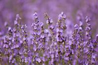 """<p>""""Lavender oil is the queen of the scents when it comes to helping sleep,"""" Melinda Ring, MD, executive director of <a href=""""https://www.feinberg.northwestern.edu/sites/ocim/"""" class=""""link rapid-noclick-resp"""" rel=""""nofollow noopener"""" target=""""_blank"""" data-ylk=""""slk:The Osher Center For Integrative Medicine at Northwestern University"""">The Osher Center For Integrative Medicine at Northwestern University</a>, told POPSUGAR. She explained that studies have shown that lavender oil is effective in different forms and durations, including <a href=""""http://pubmed.ncbi.nlm.nih.gov/26211735/"""" class=""""link rapid-noclick-resp"""" rel=""""nofollow noopener"""" target=""""_blank"""" data-ylk=""""slk:aromatherapy"""">aromatherapy</a> and <a href=""""http://www.ncbi.nlm.nih.gov/pmc/articles/PMC4505755/"""" class=""""link rapid-noclick-resp"""" rel=""""nofollow noopener"""" target=""""_blank"""" data-ylk=""""slk:inhalation before bed"""">inhalation before bed</a>. Dr. Ring added that there's some evidence that lavender essential oil may also help with <a href=""""http://www.naturalmedicinejournal.com/journal/2012-02/lavender-oil-anxiety-and-depression-0"""" class=""""link rapid-noclick-resp"""" rel=""""nofollow noopener"""" target=""""_blank"""" data-ylk=""""slk:anxiety and depression"""">anxiety and depression</a>, both of which can disrupt sleep.</p> <p>As Peter Bailey, MD, a family physician based in the California Bay Area, explained, lavender oil helps with sleep because it induces relaxation. """"When used through an oil diffuser, the aromatic therapies provided by the oil help to relax one's mind and stimulate the release of the chemical melatonin, which makes you sleepy and ready for bed,"""" Dr. Bailey said.</p>"""