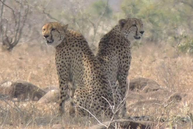 African Cheetah, cheetah in India, reintroduction of cheetah in India, National Tiger Conservation Authority NTCA, Supreme court decision on cheetah