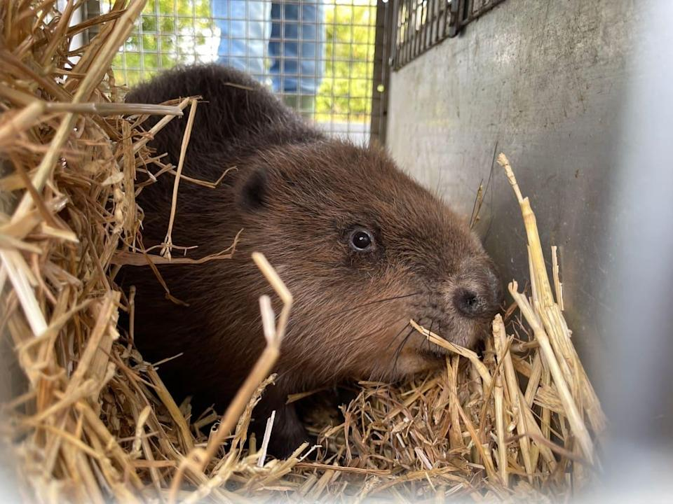 A beaver tentatively pokes its head out of a cage during its release in Norfolk, England. (Stephanie Jenzer/CBC - image credit)