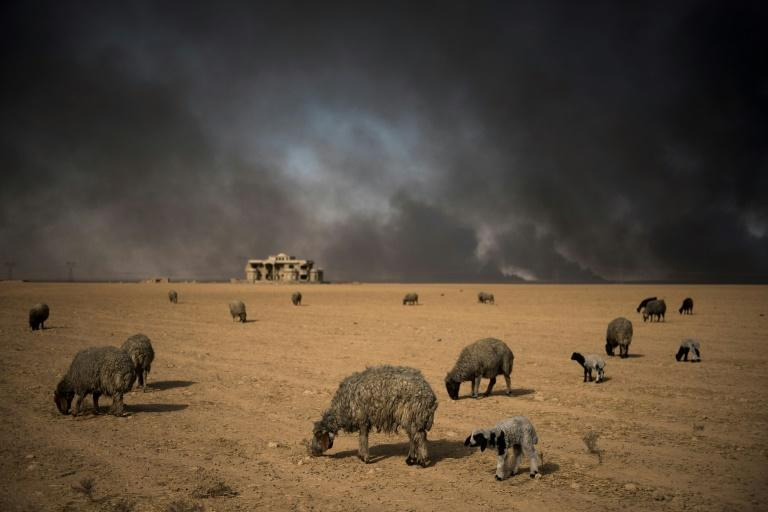 Blackened sheep graze as oil wells, set ablaze by retreating Islamic State (IS) jihadists, burn in the background, in the town of Qayyarah, some 70 km south of Mosul on November 20, 2016