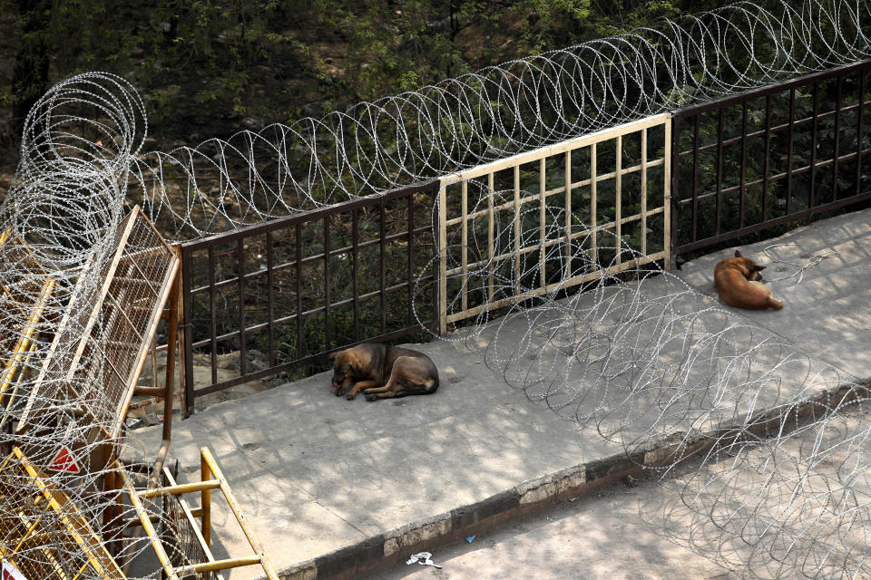 Stray dogs sit around heavily barbed wire barricading at Delhi-Utttar Pradesh border, in New Delhi, India, Tuesday, Feb. 2, 2021. Indian authorities Tuesday heavily ramped up security along three main protest sites outside New Delhi's border, using cemented iron spikes, steel barricades and deployed hundreds of police in riot gear in their latest attempt to thwart the growing farmers' protest on the edges of the capital. (AP Photo/Manish Swarup)