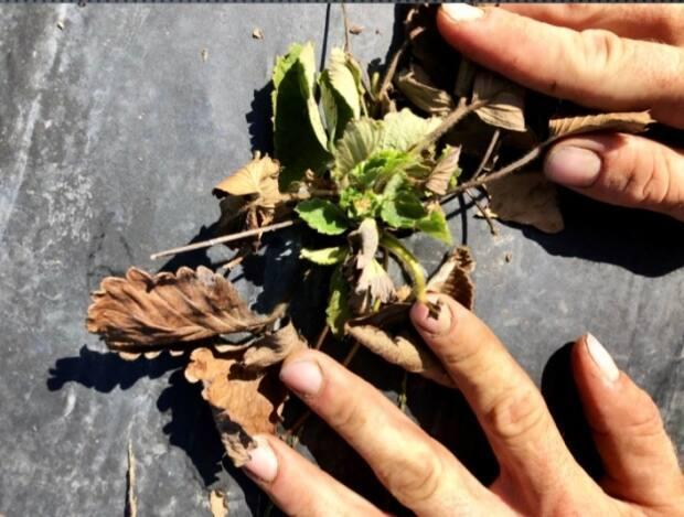 Linked Farms said strawberry plants were damaged last summer by water drawn from the Avon River, which farmers said had elevated levels of salinity after the causeway gates were opened.