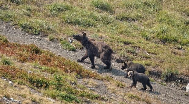 Naturalist Brian Keating came across this family of grizzlies while hiking in Castle Wildland Provincial Park on July 30, 2021. (Brian Keating - image credit)