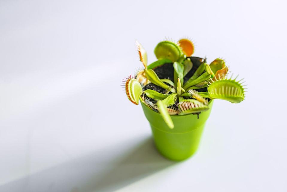 "<p><a class=""link rapid-noclick-resp"" href=""https://www.amazon.com/Flytrap-Carnivorous-Dionaea-muscipula-Arrival/dp/B07J5Q9KNZ?tag=syn-yahoo-20&ascsubtag=%5Bartid%7C10057.g.30655732%5Bsrc%7Cyahoo-us"" rel=""nofollow noopener"" target=""_blank"" data-ylk=""slk:BUY NOW"">BUY NOW</a> <strong><em>Venus Fly Trap Plant, $20, </em><em>amazon.com</em></strong></p><p>Venus fly traps are a carnivorous plant, and as the name suggests, they actually lure flies (and other bugs) in and eat them. A venus fly trap plant won't totally rid your kitchen of pests, but it can certainly help.</p>"