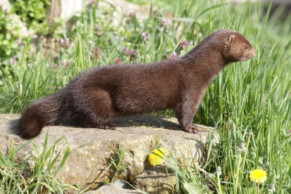 Denmark has been specific in describing how the different strain of the virus jumped from mink to man.