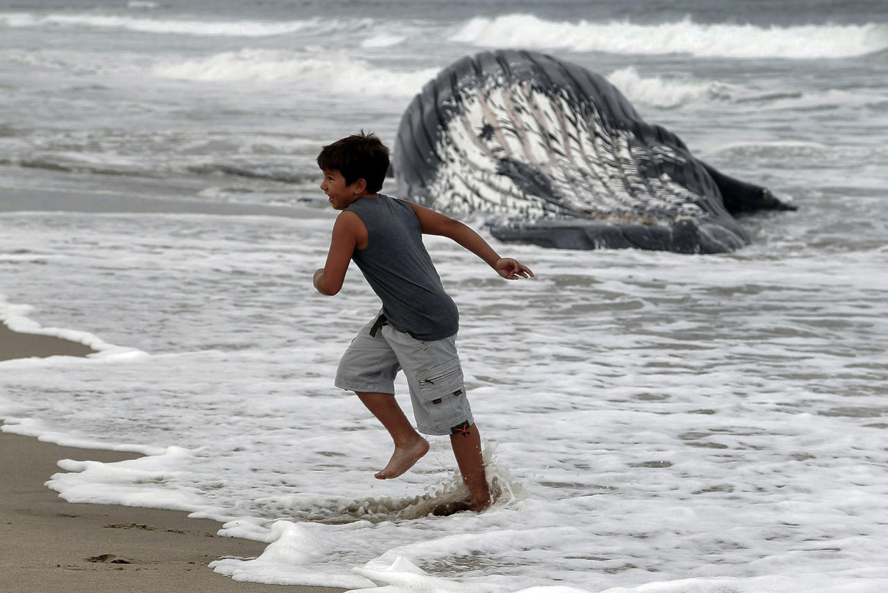 <p>An unidentified boy plays on the beach with a dead humpback whale washed ashore at Dockweiler Beach in Los Angeles on Friday, July 1, 2016. The whale floated in Thursday evening. It is approximately 40 feet long and is believed to have been between 10 to 30 years old. Marine animal authorities will try to determine why the animal died. (AP Photo/Nick Ut) </p>