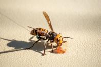 A radio tracking device fitted by Washington State Department of Agriculture (WSDA) entomologists is seen on an Asian giant hornet near Blaine