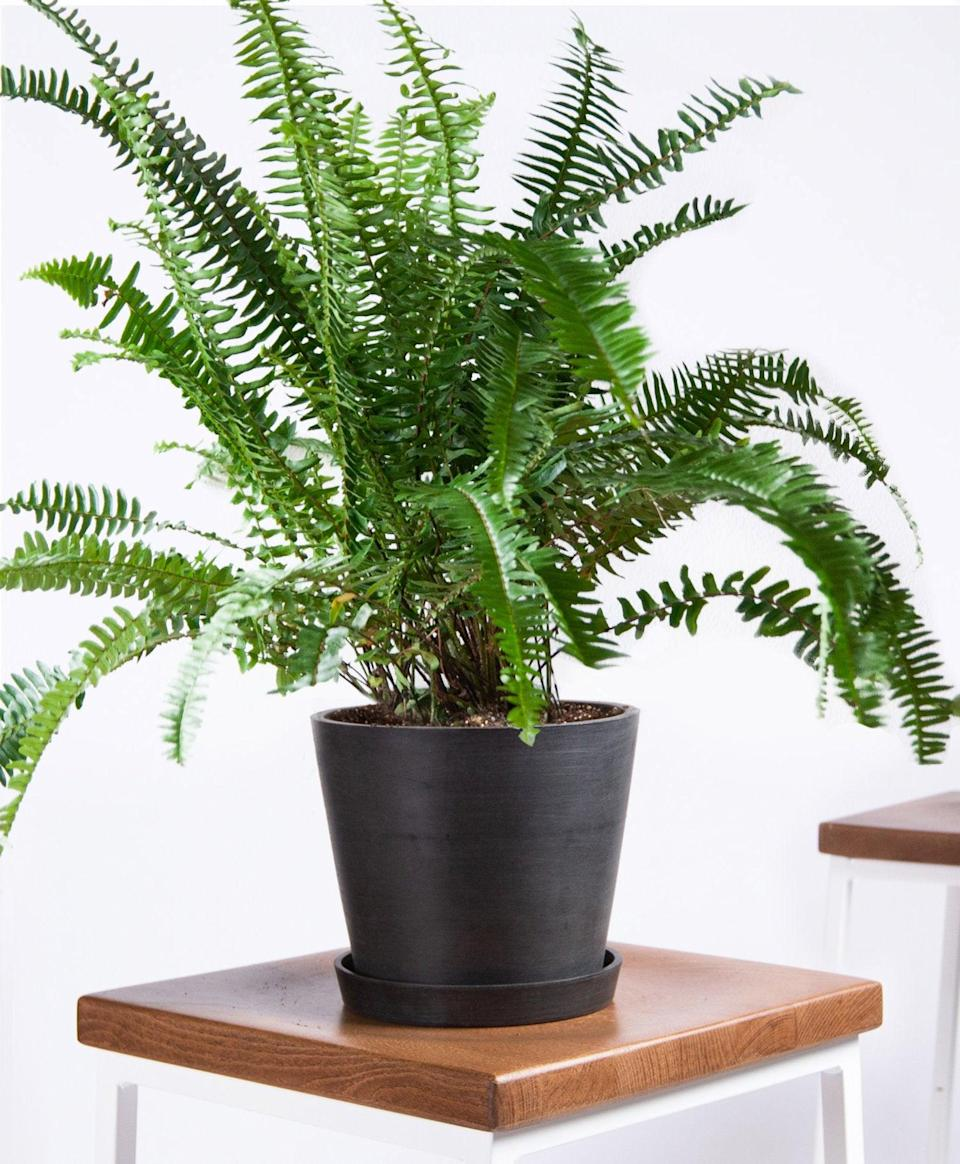 """<h2>Kimberly Queen Fern</h2><br>According to Mast, Kimberly Queen Ferns can filter formaldehyde and xylene out of your air — but that's not all it does. """"They are said to be natural humidifiers, and are a great choice if the air moisture is low in your home,"""" Mast explains. This litte green miracle-worker is also very low maintenance, which is an added bonus for some. Mast recommends simply keeping your Kimberly Queen Fern in direct sunlight and making sure the soil stays moist.<br><br><em>Shop</em> <strong><em><a href=""""http://bloomscape.com"""" rel=""""nofollow noopener"""" target=""""_blank"""" data-ylk=""""slk:Bloomscape"""" class=""""link rapid-noclick-resp"""">Bloomscape</a></em></strong><br><br><strong>Bloomscape</strong> Kimberly Queen Fern, $, available at <a href=""""https://go.skimresources.com/?id=30283X879131&url=https%3A%2F%2Fbloomscape.com%2Fproduct%2Fkimberly-queen-fern%2F"""" rel=""""nofollow noopener"""" target=""""_blank"""" data-ylk=""""slk:Bloomscape"""" class=""""link rapid-noclick-resp"""">Bloomscape</a>"""