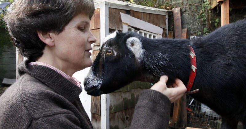 In this Monday, Nov. 28, 2011 photo, Jennie Grant scratches the neck of Eloise in the backyard of her home in Seattle. No stranger to urban farming, Grant already had chickens, bees, and a large vegetable garden before she added goats to her lineup. After doing some research, she cleared a 20-by- 20-foot patch of her yard, fenced it in, and added a shed, feeding stations, and the goat equivalent of a jungle gym. (AP Photo/Elaine Thompson)