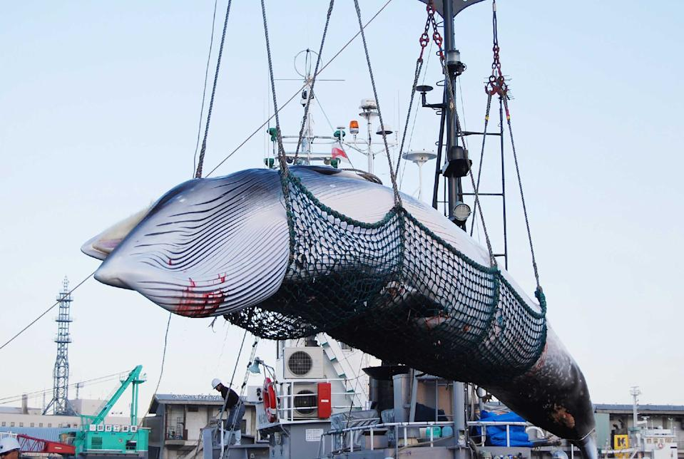 Japan withdrew from the IWC to pursue commercial hunting in its own waters. Source: Getty