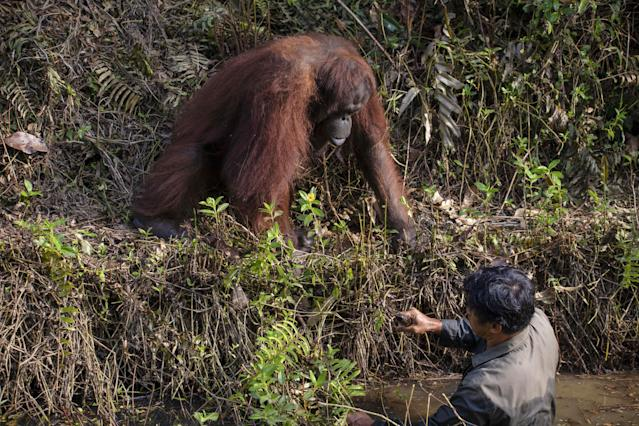 The orangutan offers a warden a helping hand out of snake-filled waters.