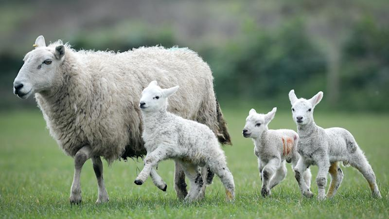 Sheep farmers could profit from letting land return to forest, study suggests
