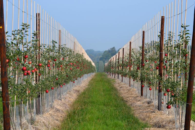 Apple picking season starts in mid-August, but some orchards are reporting a lack of pickers (Photo: British Apples and Pears)