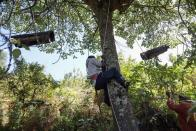 A member of the Ogiek forest inhabitants community climbs a tree to extract honey from beehives, inside the Eburru forest reserve