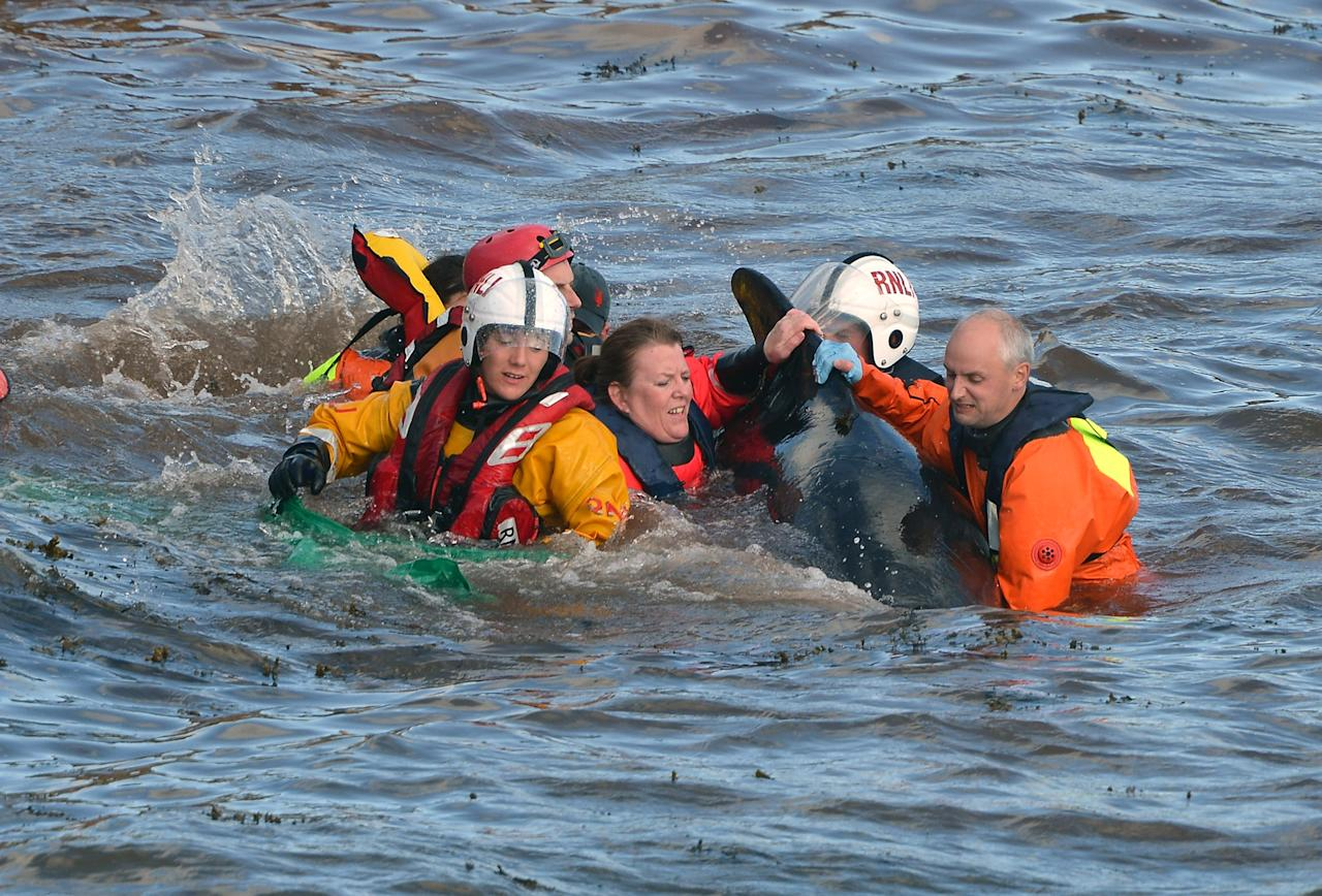 PITENWEEM, SCOTLAND - SEPTEMBER 02:  Emergency services attempt to rescue a large number of pilot whales who have beached on September 2, 2012 in Pittenweem, near St Andrews, Scotland. A number of whales have died after being stranded on the east coast of Scotland between Anstruther and Pittenweem.  (Photo by Jeff J Mitchell/Getty Images)