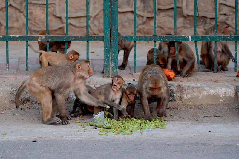 Monkeys eat fruits on a street during a government-imposed nationwide lockdown in New Delhi: AFP via Getty Images