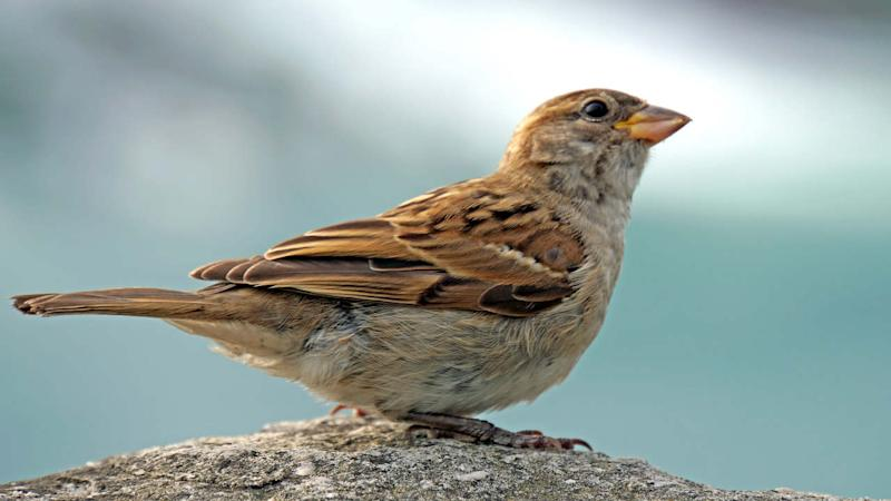 A sparrow. image credit: Dennis Jarvis