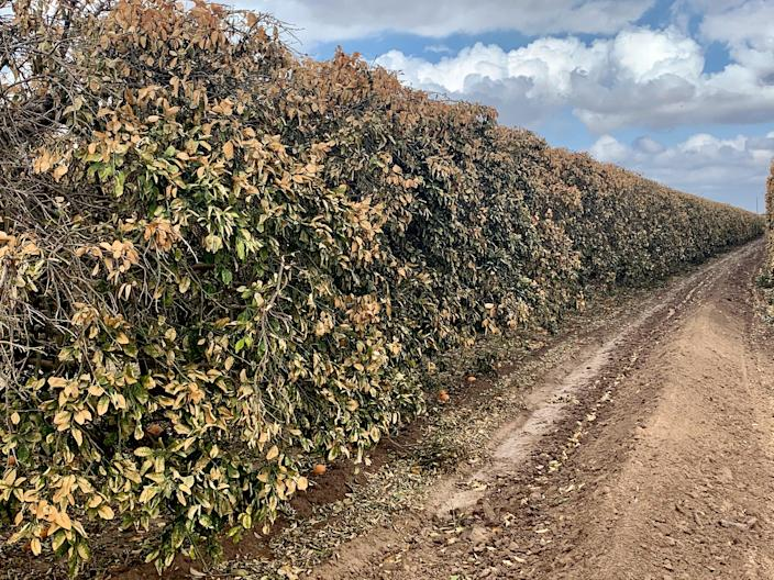 After the snow melted and temperatures warmed up, the citrus trees began turning brown. (Courtesy Dale Murden / via Texas Farm Bureau)