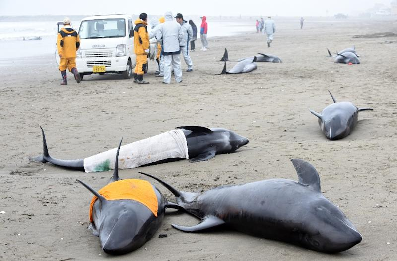 Local government officers stand beside melon-headed whales washed up on the shore of Hokota, northeast of Tokyo, April 10, 2015 (AFP Photo/Toshifumi Kitamura)