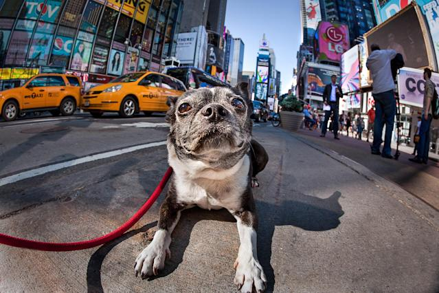 <p>This Boston Terrier came all the way from Los Angeles for his photo shoot in Times Square, where he stopped traffic. (Photo: Mark McQueen/Caters News) </p>