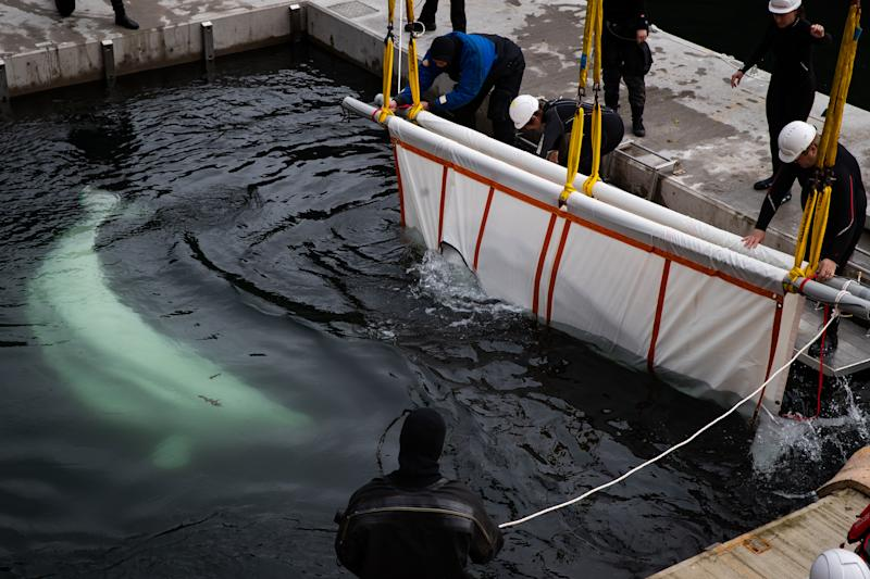 The Sea Life Trust team move Beluga Whale Little Grey from a tugboat during transfer to the bayside care pool where they will be acclimatised to the natural environment of their new home at the open water sanctuary in Klettsvik Bay in Iceland. The two Beluga whales, named Little Grey and Little White, are being moved to the world's first open-water whale sanctuary after travelling from an aquarium in China 6,000 miles away in June 2019.