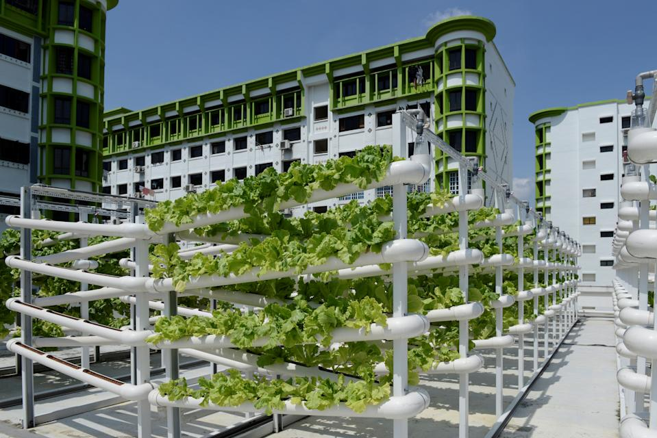 Organic vegetables are seen on growing towers that are primarily made out of polyvinyl chloride (PVC) pipes at Citiponics' urban farm on the rooftop of a multi-storey carpark in a public housing estate in western Singapore April 17, 2018. Picture taken April 17, 2018. REUTERS/Loriene Perera