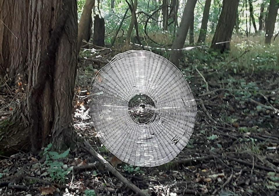 Giant spider web found in the forest of Missouri (Francis Skalicky / Missouri Department of Conversation)