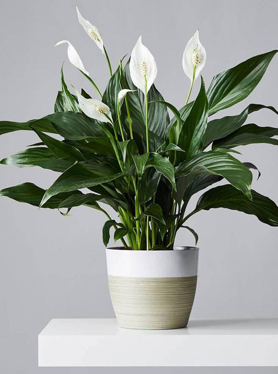 """If you want to give a gift that lasts longer than a week, try a potted plant from Plants.com. This Peace Lily is gorgeous and sophisticated, but the company has so many other choices—from window sill succulents to larger-than-life floor plants. You can filter your search by size, room, or lifestyle need (read: pet-friendly or air-purifying). The online retailer ships nationwide, with next-day delivery available in select zip codes. $55, Peace Lily Plant. <a href=""""https://www.plants.com/p/peace-lily-plant-157654?"""" rel=""""nofollow noopener"""" target=""""_blank"""" data-ylk=""""slk:Get it now!"""" class=""""link rapid-noclick-resp"""">Get it now!</a>"""