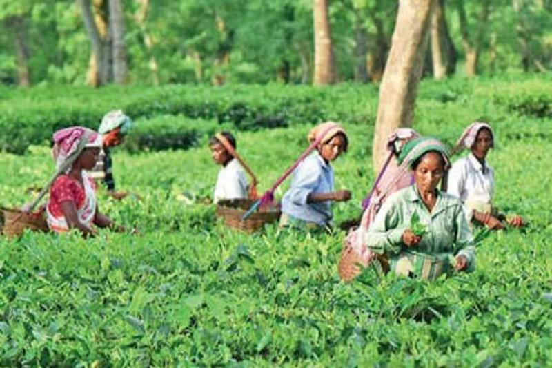 Assam Tea Garden Union Plans Sept Protests Including 'Massive Human Chain' for Fulfillment of Demands