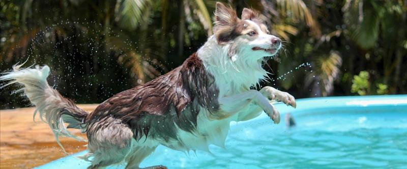 Dog jumping into a swimming pool to cool off