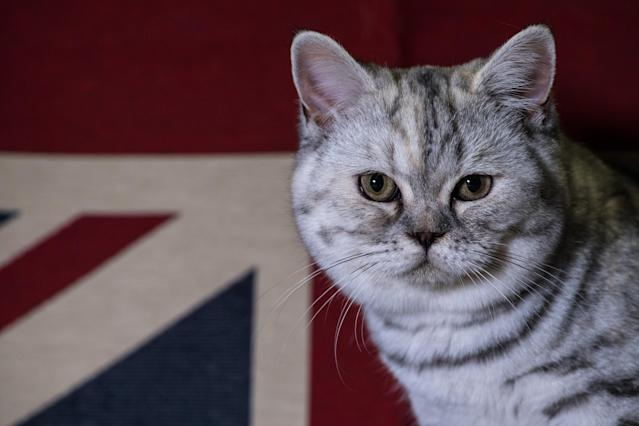 <p>British Short Hair, Dotty, is pictured in her cage after winning best of breed at the Supreme Cat Show on October 28, 2017 in Birmingham, England. (Photo: Chris J Ratcliffe/Getty Images) </p>