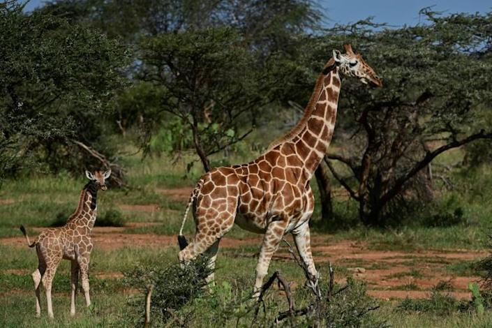 In Kenya, Somalia and Ethiopia, reticulated giraffe numbers fell 60 percent in the roughly three decades to 2018 (AFP Photo/TONY KARUMBA)