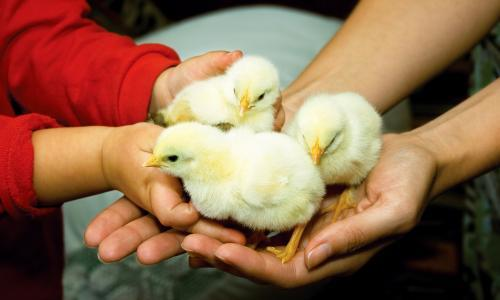 Cooped up: is coronavirus lockdown a good time to start keeping chickens?
