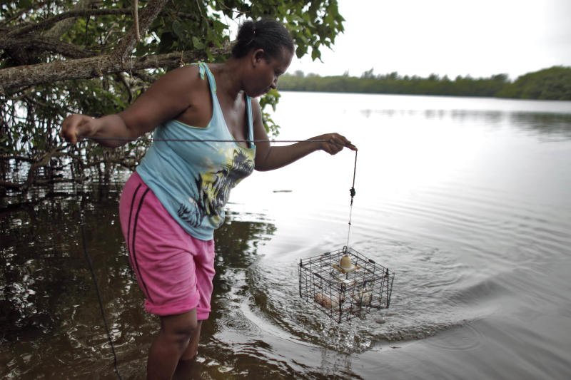 In this Oct. 30, 2013 photo, local fisher Sara Ayala retrieves her trap containing a crab from the San Juan Bay Estuary in San Juan, Puerto Rico. The estuary is surrounded by a maze of dark-green mangroves that offer shelter and shade to dozens of bird species. Across the open waters, people still catch fish and crab, despite health warnings due to contamination. (AP Photo/Ricardo Arduengo)