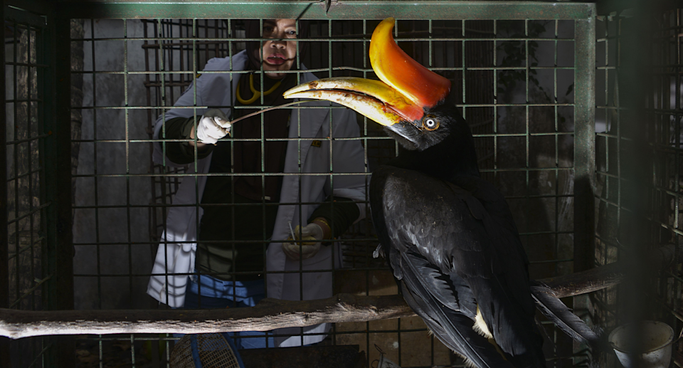 A hornbill bird in a cage in Indonesia that was rescued.