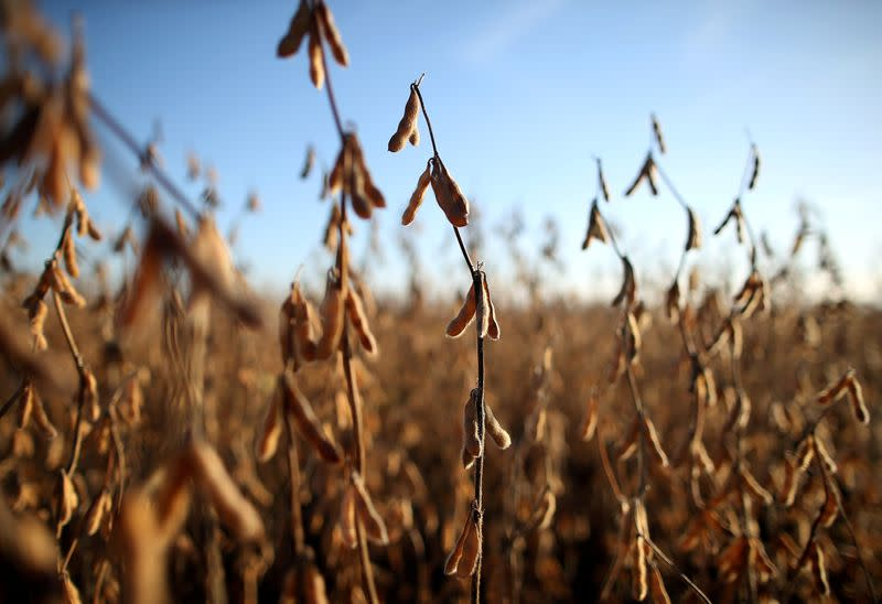 FILE PHOTO: Soy plants are seen at a farm in Carlos Casares