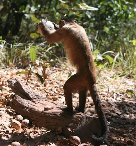 "A bearded capuchin monkey uses a rock to crack open a nut placed on a stone ""anvil."""